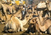 Kamel-Markt