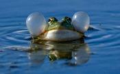 Frosch-Quaken