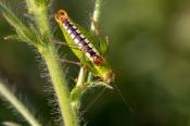Südliche Buntschrecke (Poecilimon ornatus)