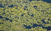 Blätter der Weißen Seerose (Nymphaea alba)