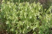 Dalmatien-Lotwurz (Onosma visianii),