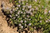 Feld-Thymian (Thymus pulegioides)