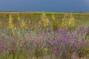 Flora der Küsten-Verlandungszone