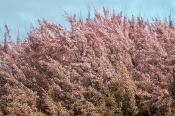 Heide-Tamariske (Tamarix ramosissima)