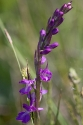 Sumpf-Knabenkraut (Orchis palustris)