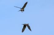 Baumfalken (Falco subbuteo)