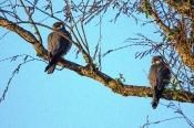 Baumfalken (Falco subbuteo) Jungvögel