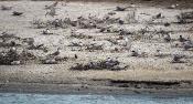 Flußseeschwalben-Kolonie