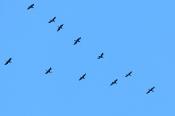 Kormoran-Flugformation