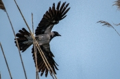 Nebelkrähe (Corvus cornix) Abflug