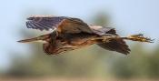 Purpurreiher (Ardea purpurea)