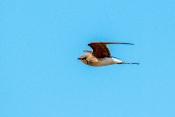 Rotflügel-Brachschwalbe (Glareola pratincola)