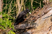 Schwarzspecht (Dryocopus martius) Weibchen
