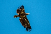 Seeadler juvenil (Halietus albicilla)