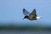 Trauerseeschwalbe (Chlidonias niger)