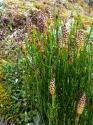 Island-Pflanzen