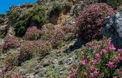 Oleander-Hang