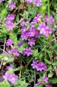 Binsen-Weiderich (Lythrum junceum)
