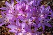 Colchicum macrophyllum