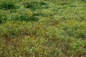 Kronen-Wucherblumen-Bestand