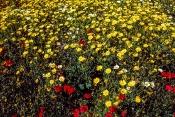 Saat-Wucherblumen Chrysanthemum segetum