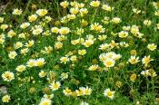 Kronenwucherblumen Chrysanthemum coronarium