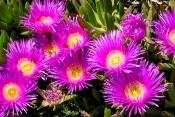 Mittagsblumen-Bestand