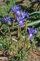 Mkittags-Schwertlilie (Gynandris sisyrinchium)