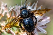 Holzbiene (Xylocopa)
