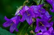 Acker-Glockenblume (Campanula rapunculoides)oides)