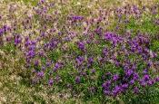 Esparsetten-Tragant (Astragalus onobrychis)