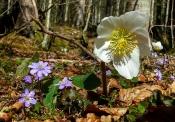 Schneerose mit Leberblümchen