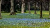 Zweiblättriger Blaustern (Scilla bifolia)