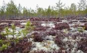 Flechten prägen die Wälder