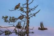 Birkhühner beobachten den Kampfplatz zur Partnerwahl