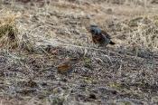Rotdrossel (Turdus iliacus) - im Vordergrund - mit Wacholderdrossel