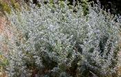Echter Wermut (Artemisia absinthium)