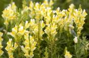 Echtes Leinkraut (Linaria vulgaris)
