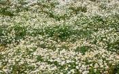 Geruchlose Kamille (Matricaria maritima)