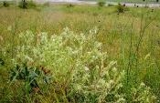 Sandlotwurz (Onosma arenaria)