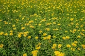 Weiden-Alant (Inula salicina)
