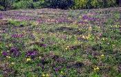 Zwerg-Schwertlilie (Iris pumila) am Thenau-Riegel