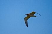 Großer Brachvogel (Numenius arquata)