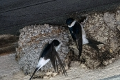 Mehlschwalben
