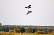 Revierstreit Sumpfohreule mit Wiesenweihen-Männchen