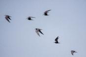 Trauerseeschwalben (Chlidonias niger)