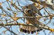 Turmfalke (Falco Tinnunculus) _1