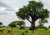 Savannen-Landschaft mit weiblichen Wasserböcken