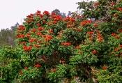 Afrikanischer Tulpenbaum (Spathodea campanulata)