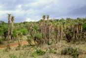 Yuccapalmen-Art